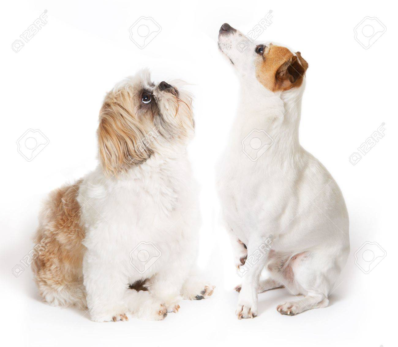 Jack Russel dog and Shih-tzu looking up Stock Photo - 6529719