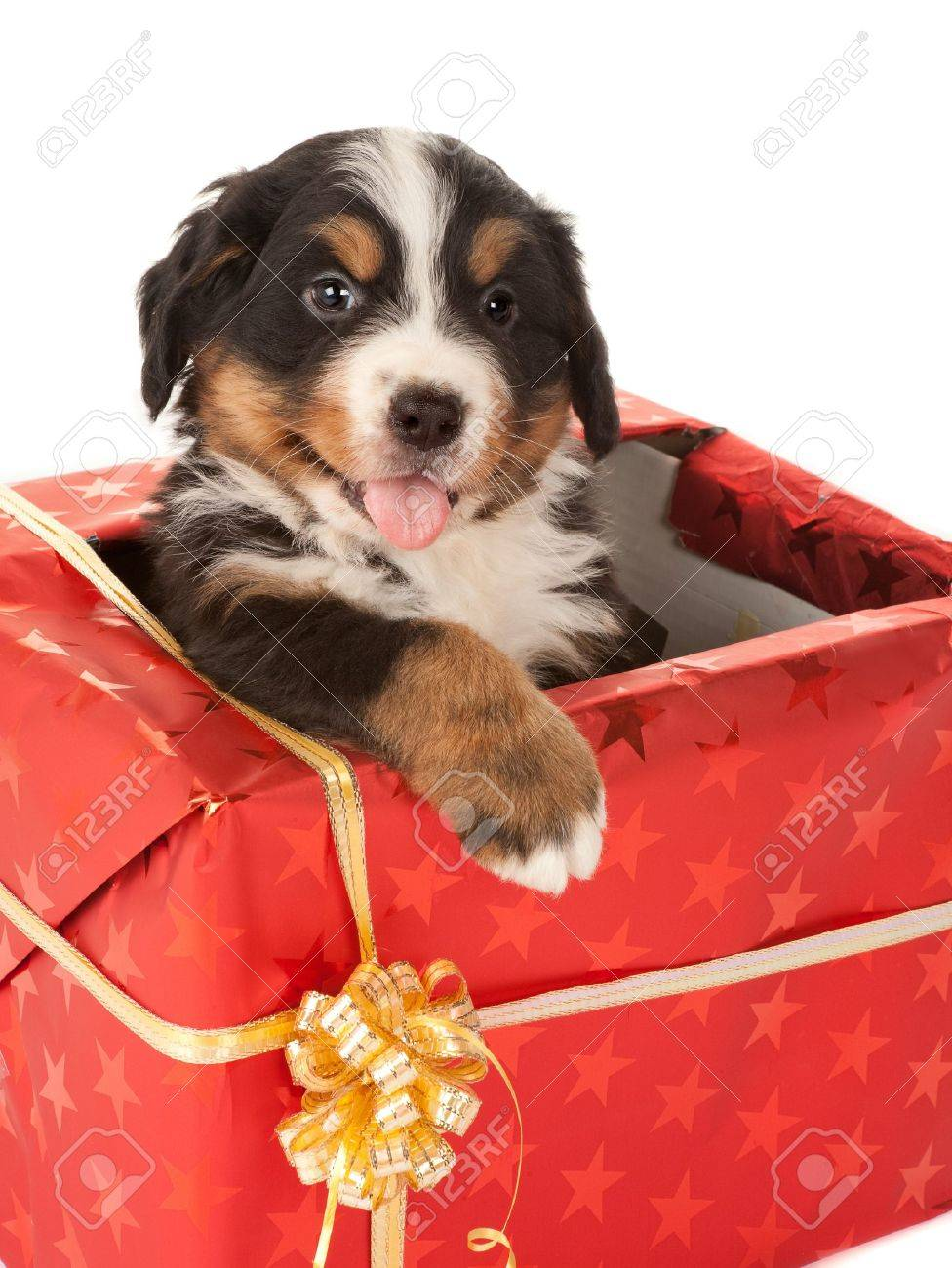 Bernese Mountain Dog Puppy Sitting In A Christmas Present Stock Photo Picture And Royalty Free Image Image 7795433