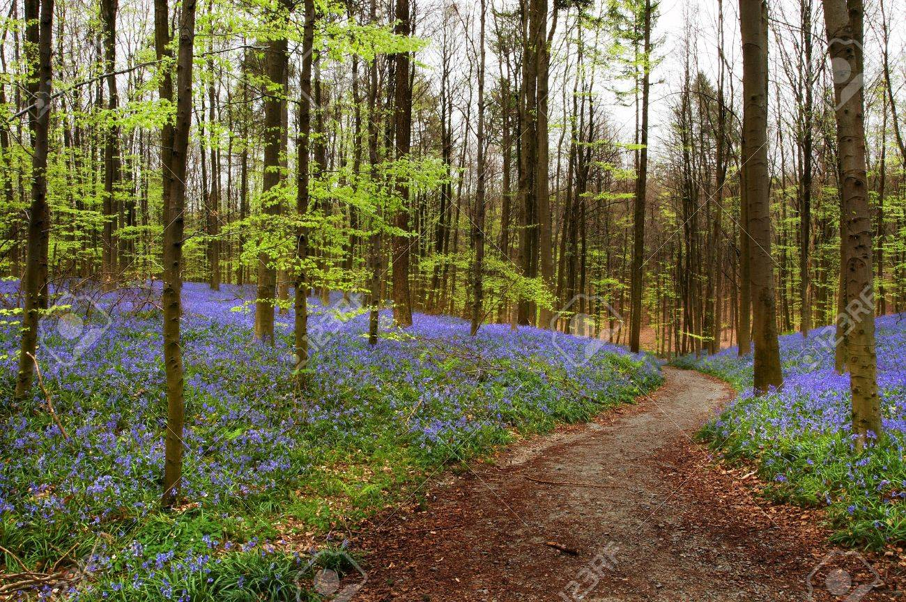 Curved path in a bluebell forest in springtime (Hallerbos woods in Belgium) - 8836085