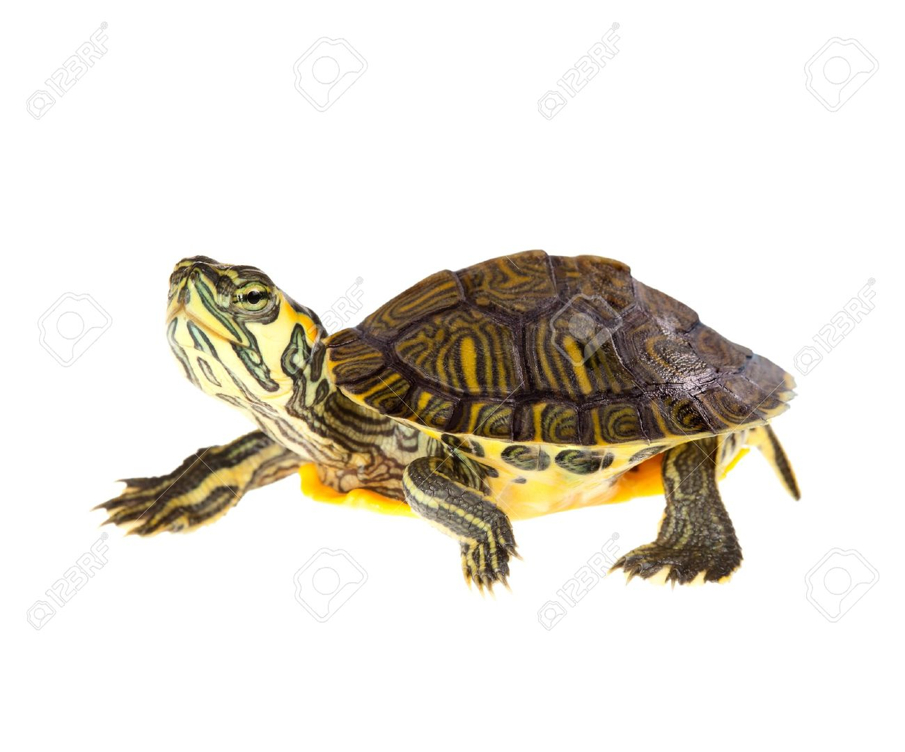 Slow Turtle Funny Slow Turtle Funny Green