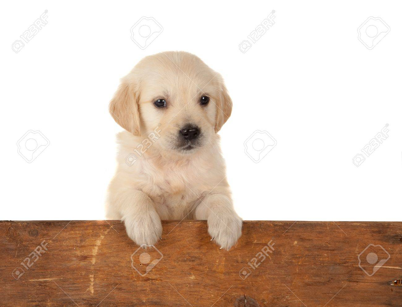 6 Weeks Old Golden Retriever Puppy Over A Wooden Fence Stock Photo