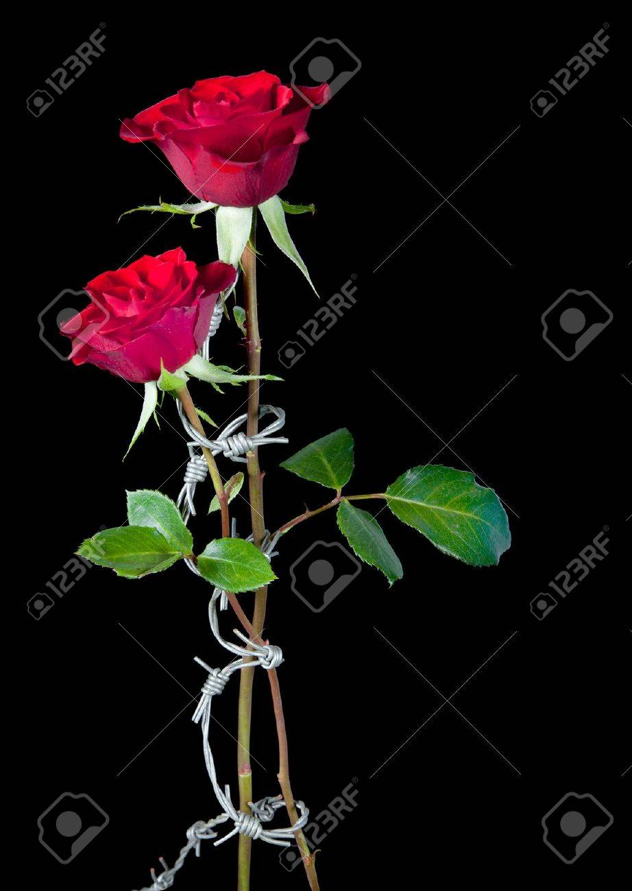 Roses And Barb Wire Graphics Center Mosfetcircuitsymbols Two Bound By Dangrous Barbed Stock Photo Picture Rh 123rf Com Ankle Tattoos Girl Rose Hearts Drawings With