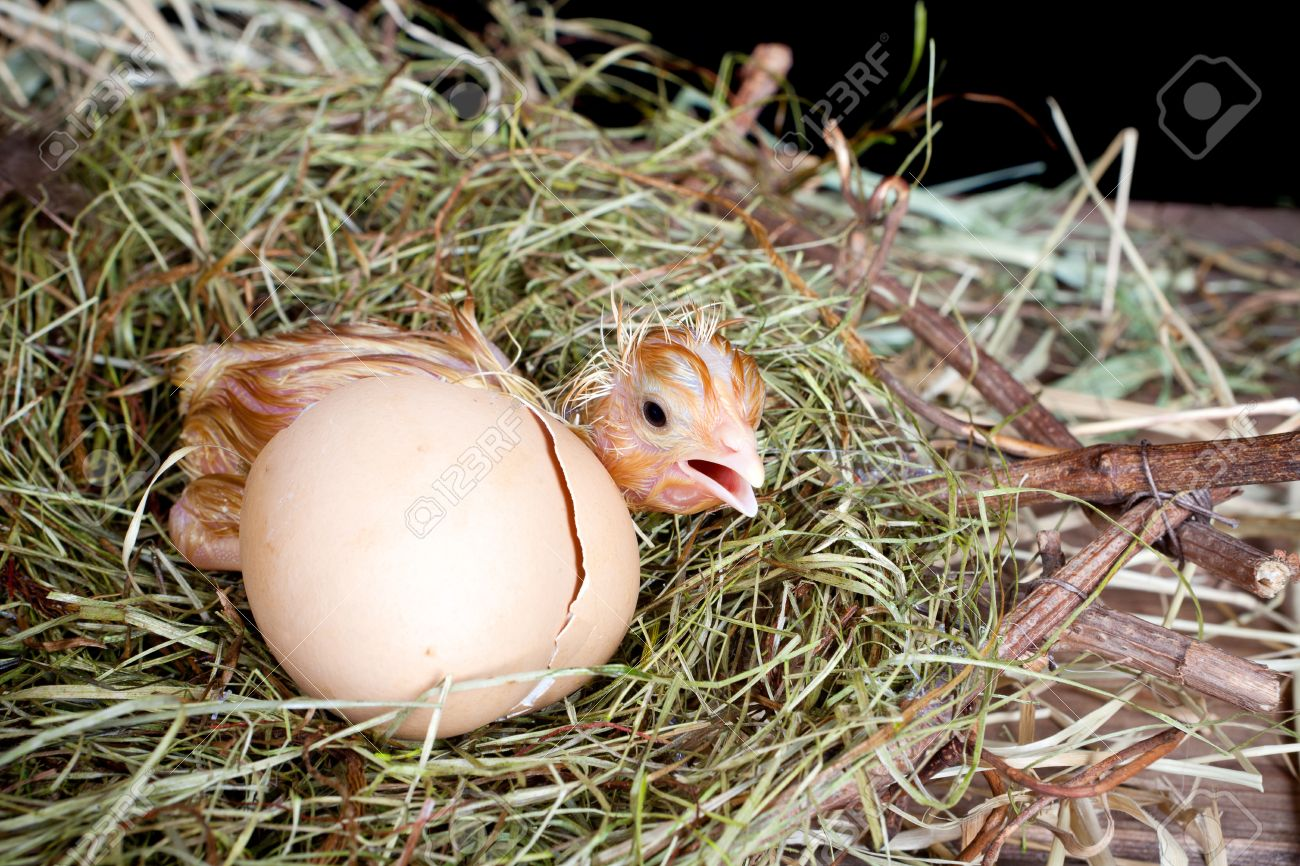 scared little newly hatched chick hiding behind its egg stock photo