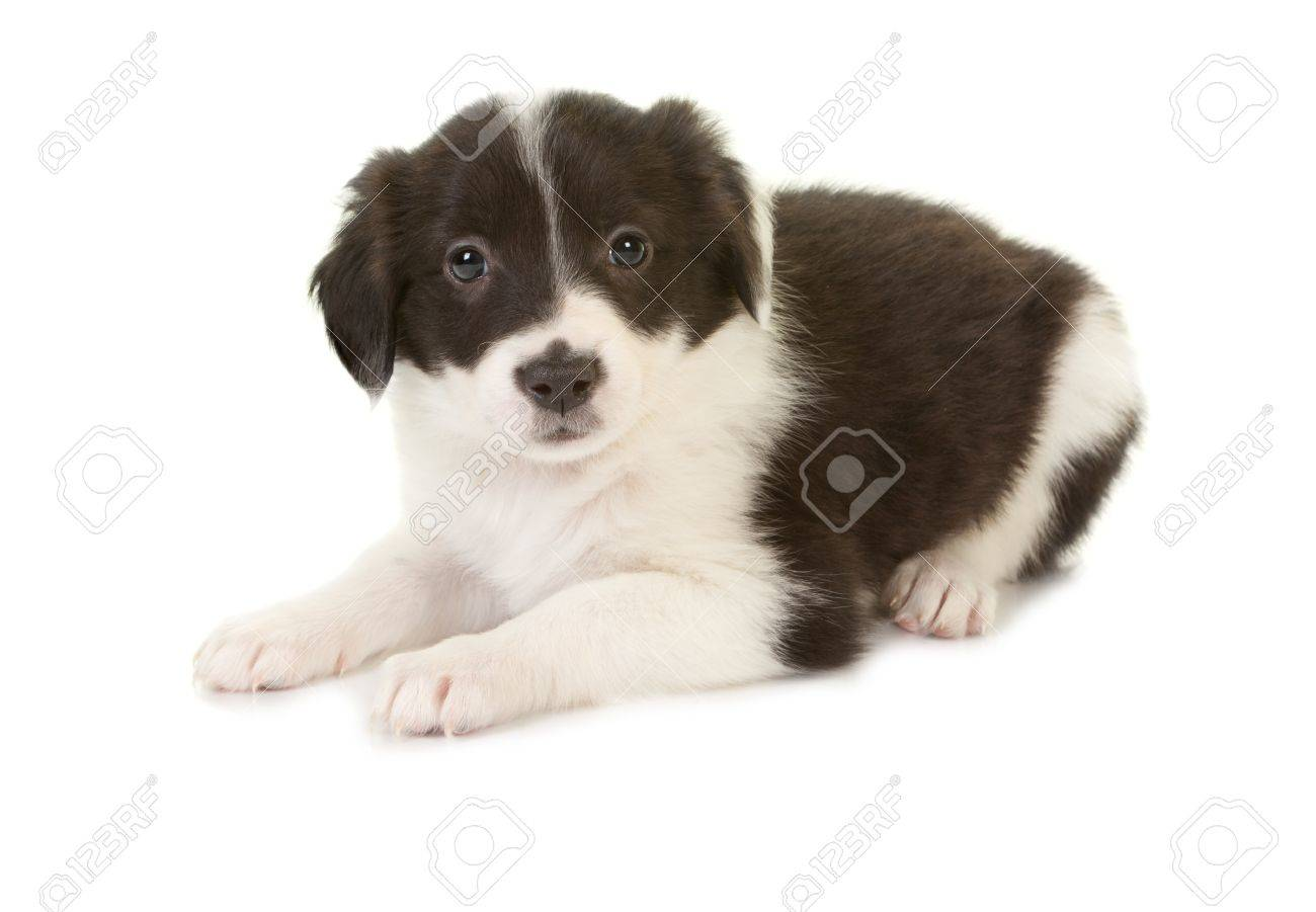 Isolated 5 week old border collie puppy lying on white Stock Photo - 12609429