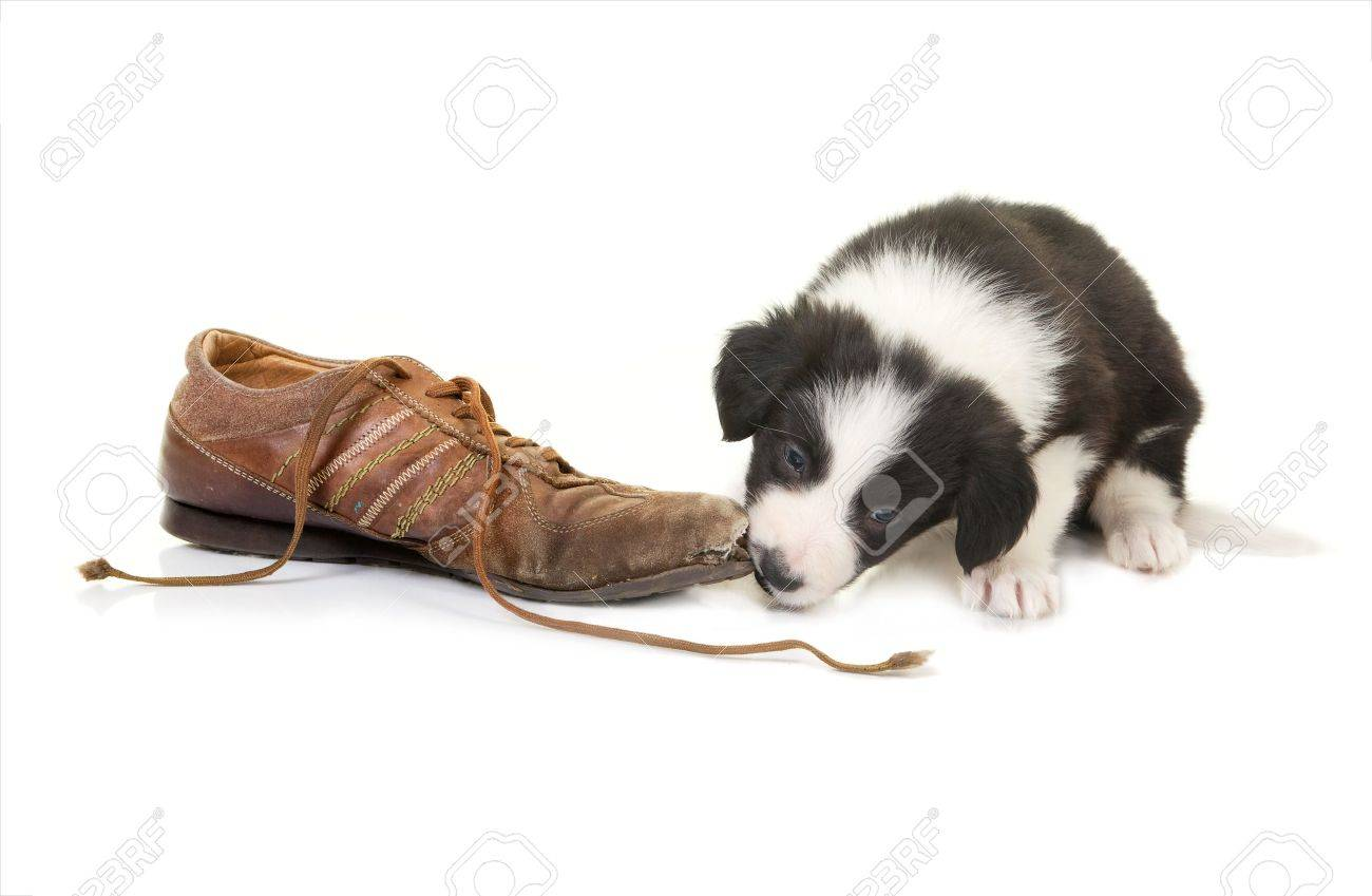 Naughty border collie puppy caught while chewing on a shoe Stock Photo - 12880175