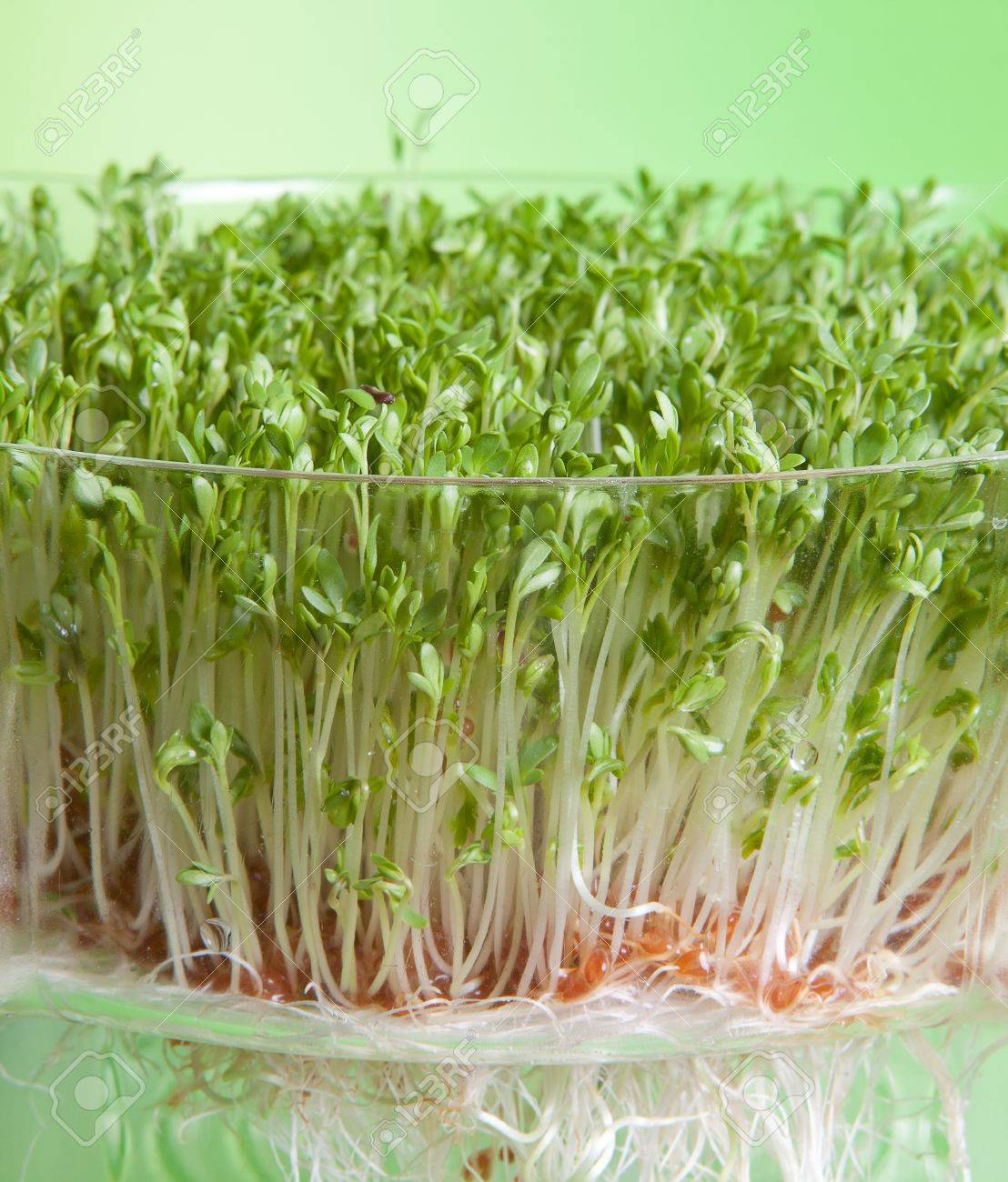 Garden cress sprouts for a healthy diet Stock Photo - 14873071