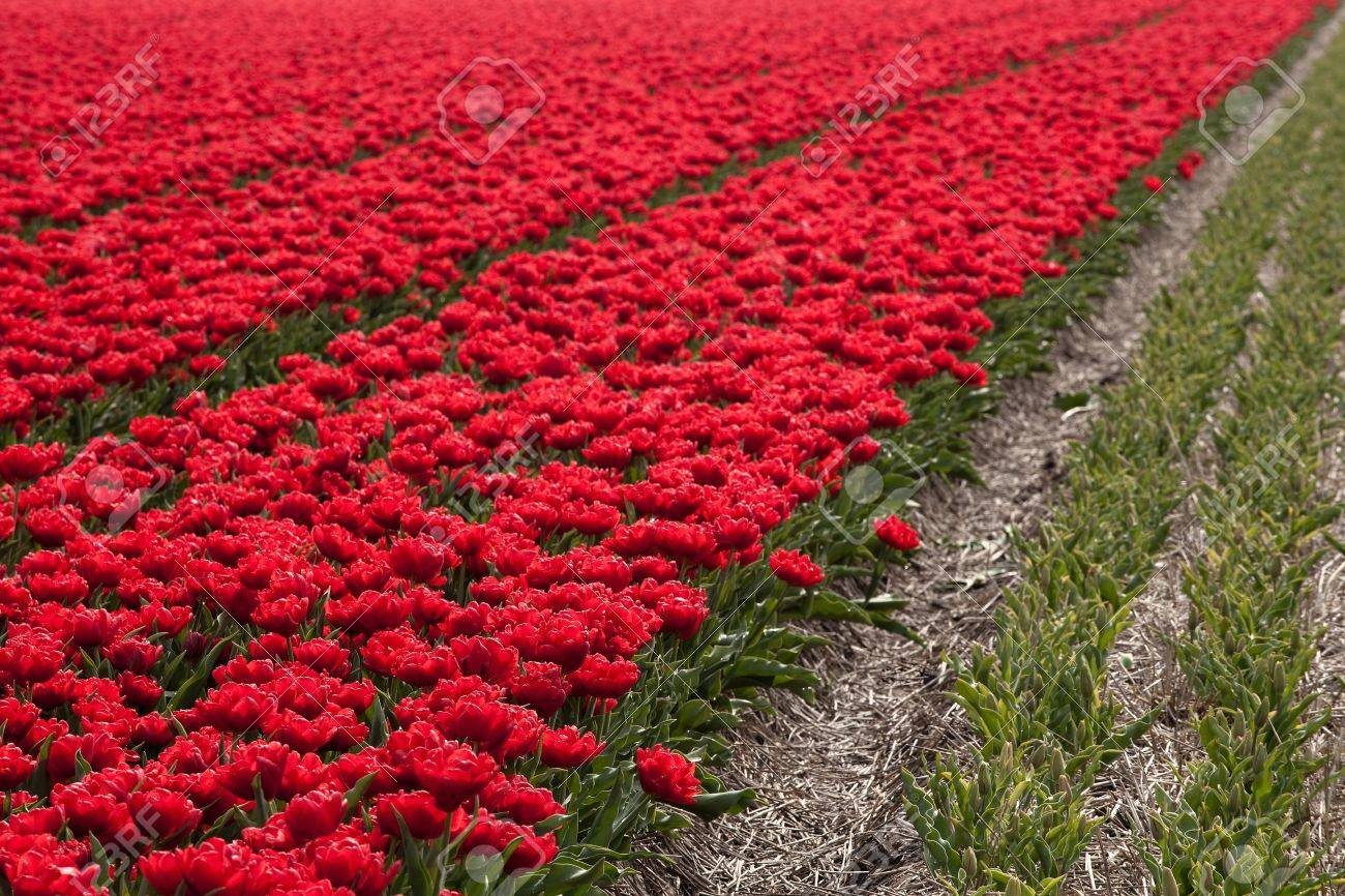 Famous Dutch bulb fields with millions of tulips in Holland Stock Photo - 17475095