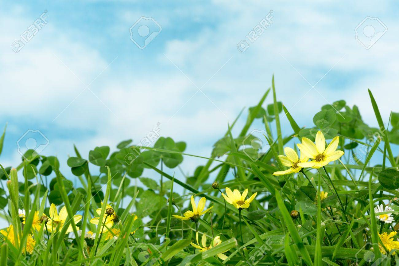 Clover And Little Yellow Daisy Flowers In Grass Stock Photo Picture