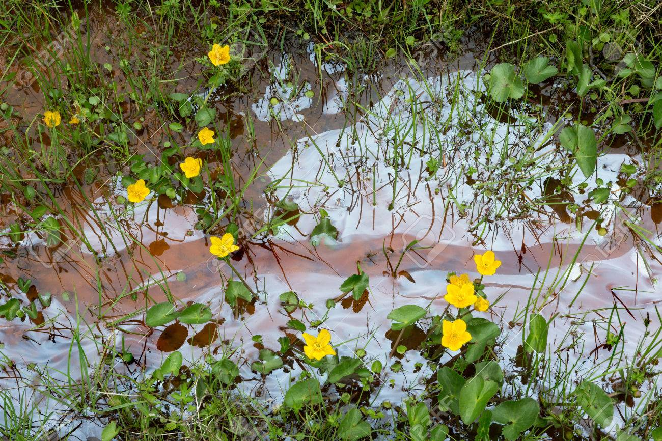 Oil Leakage In A Little River In Scotland With Yellow Wildflowers