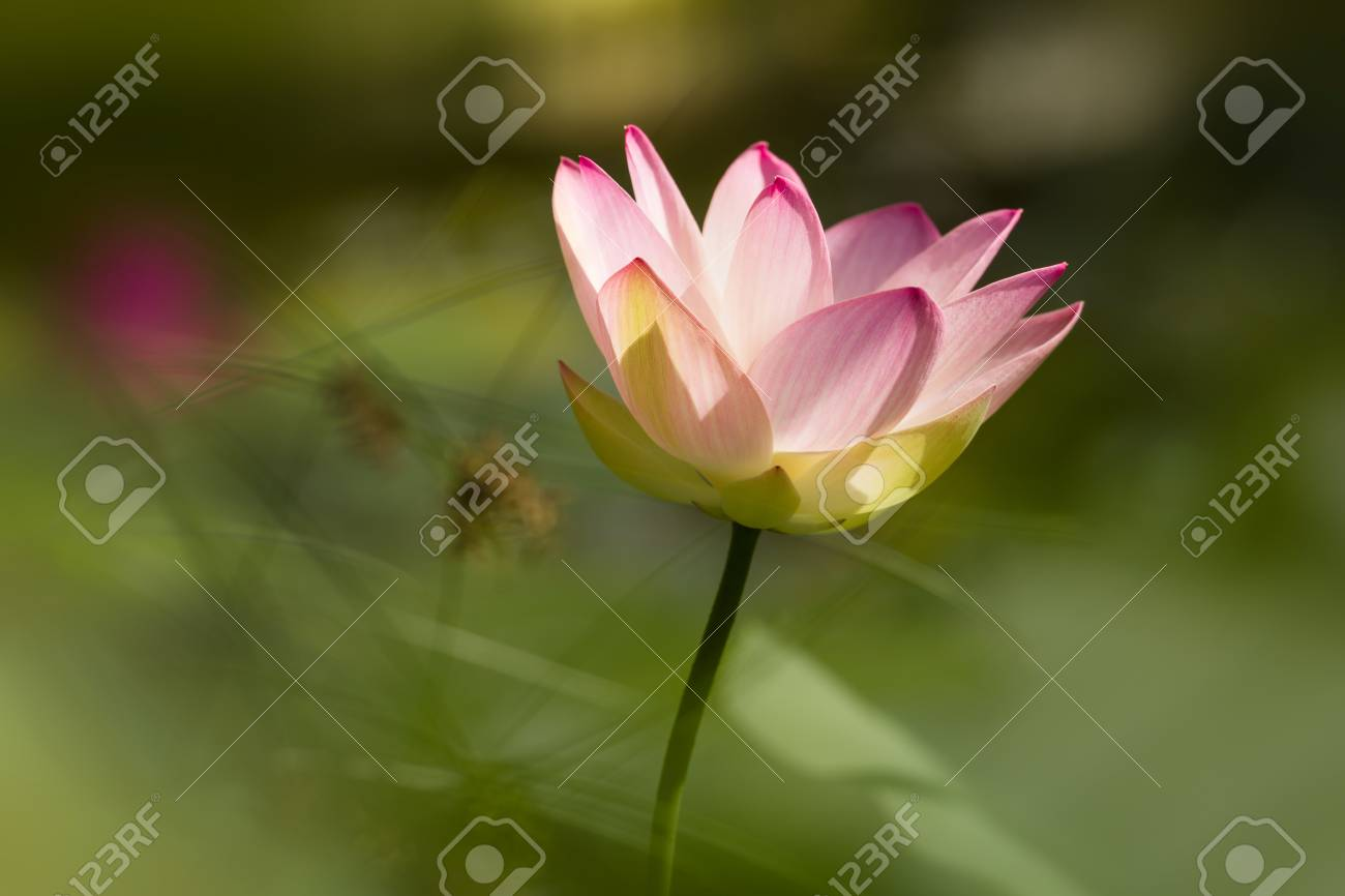 Single holy lotus flower blooming in tropical climate stock photo single holy lotus flower blooming in tropical climate stock photo 99122490 izmirmasajfo