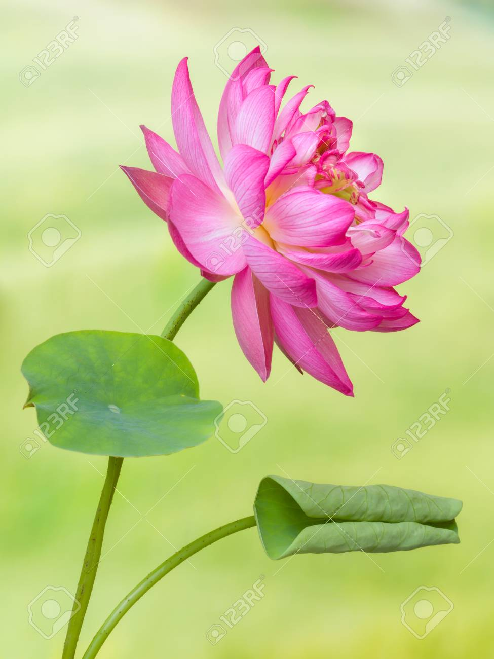 Full Bloom Of A Lotus Flower Named Lotus Nelumbo Elite Red Stock
