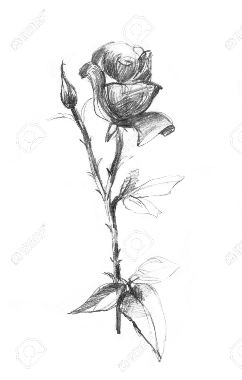 Realistic pencil drawn rose flowers background hand pencil drawing on paper stock photo