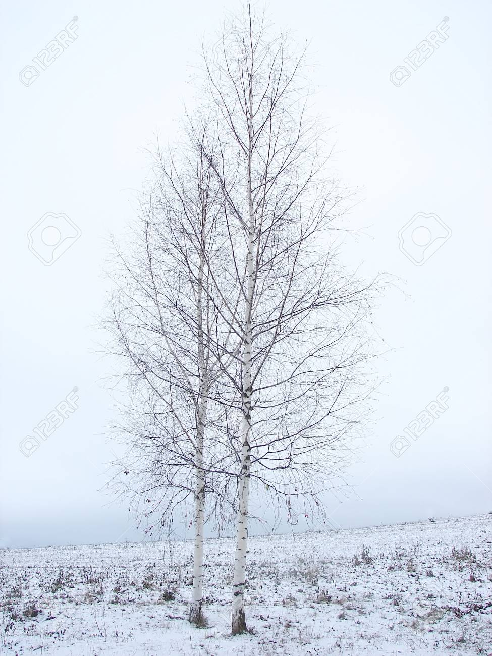 Two birch trees standing in a snowy field Stock Photo - 6015327