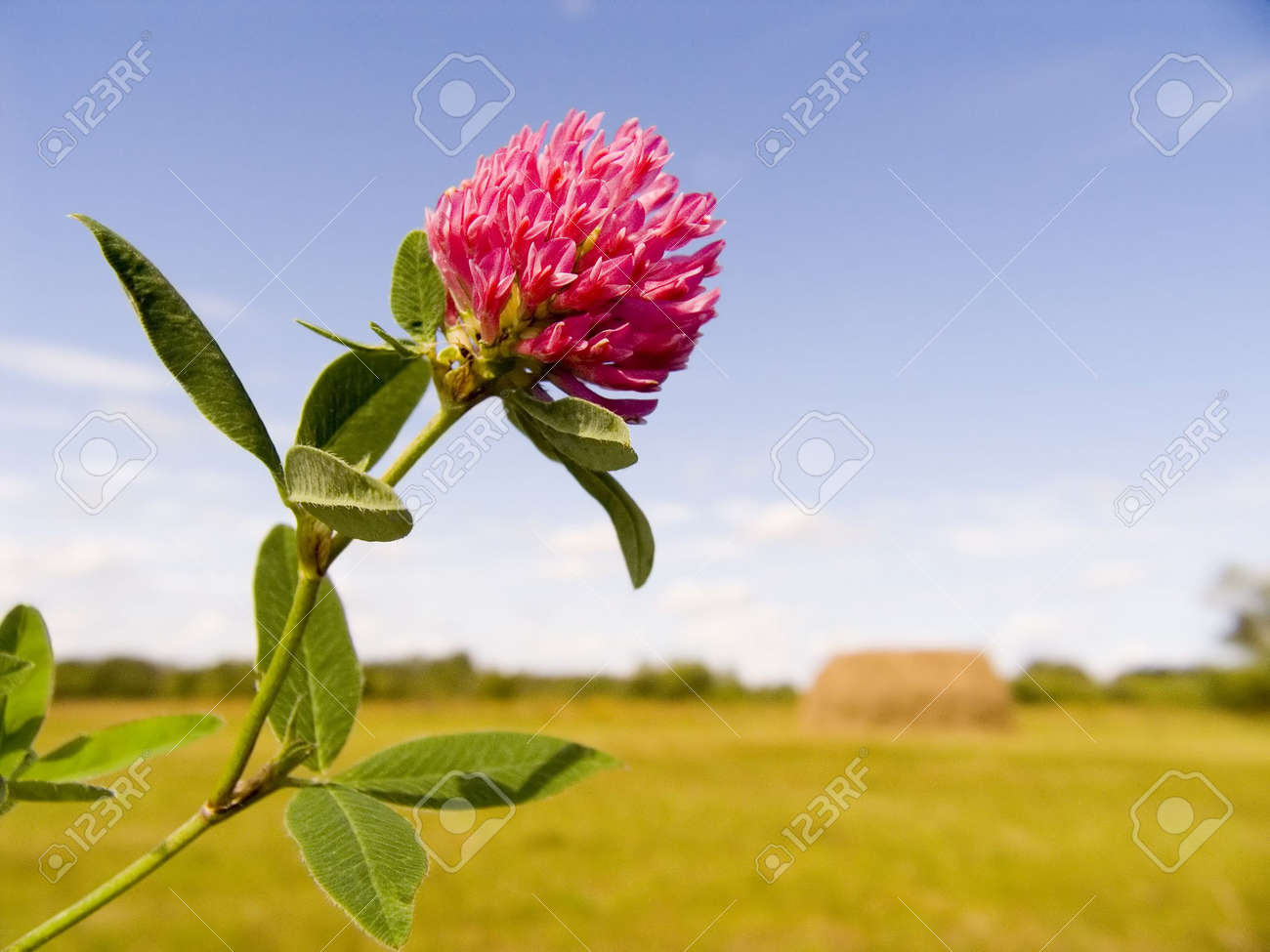 Flower clover close up Stock Photo - 594624