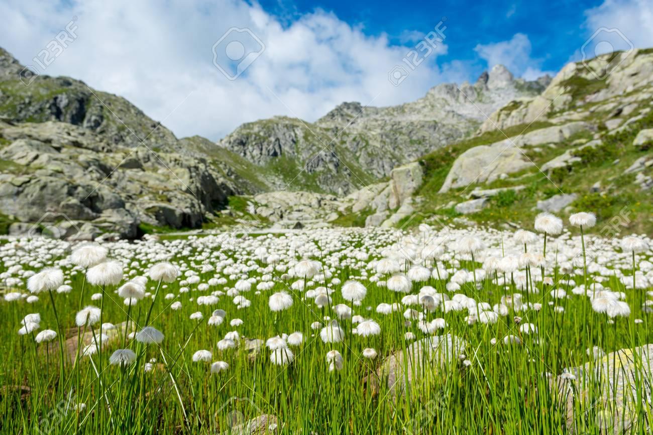 White mountain flowers lush meadow in brenta dolomites stock photo stock photo white mountain flowers lush meadow in brenta dolomites mightylinksfo