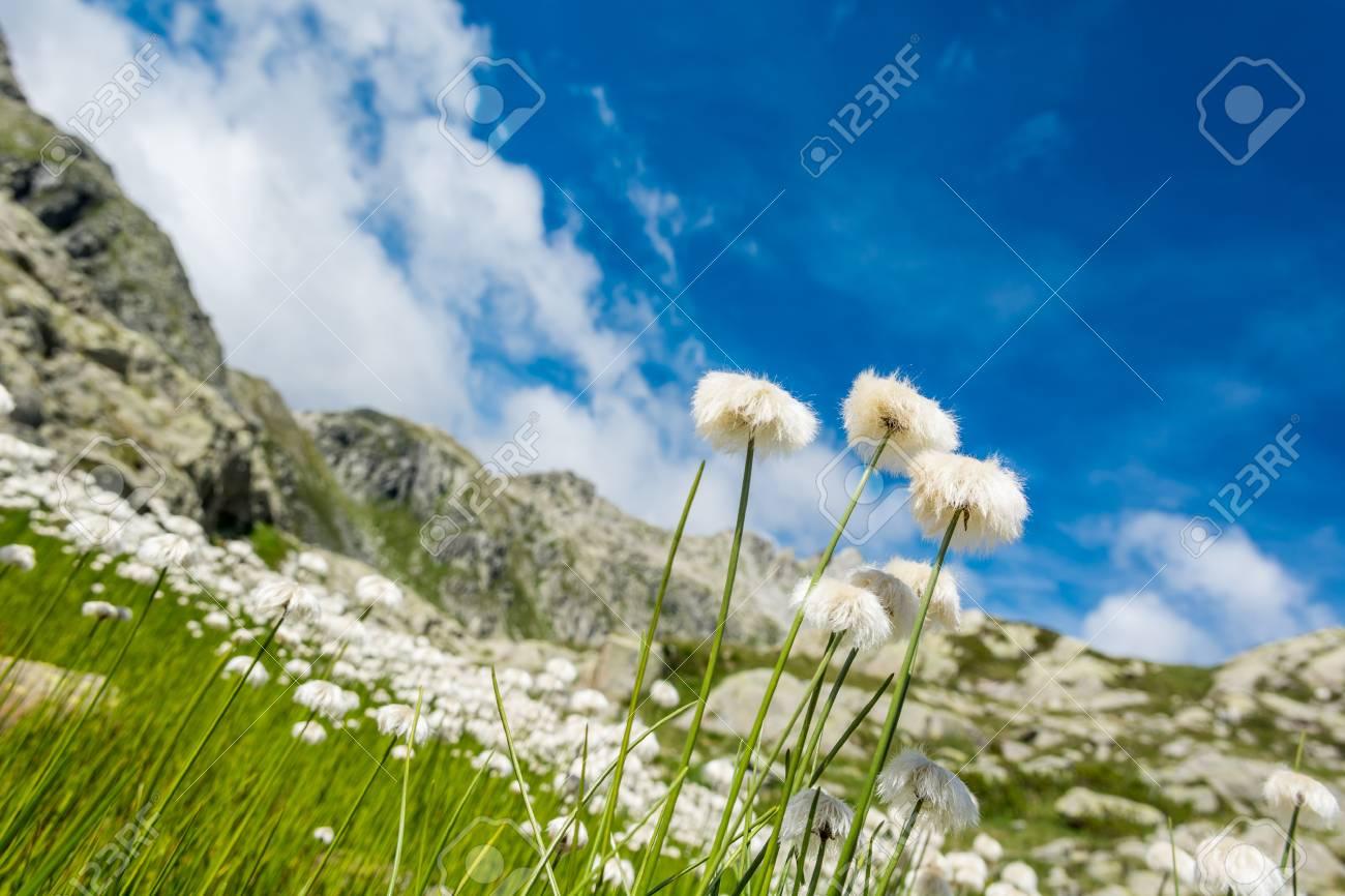 White Mountain Flowers Lush Meadow In Brenta Dolomites Stock Photo