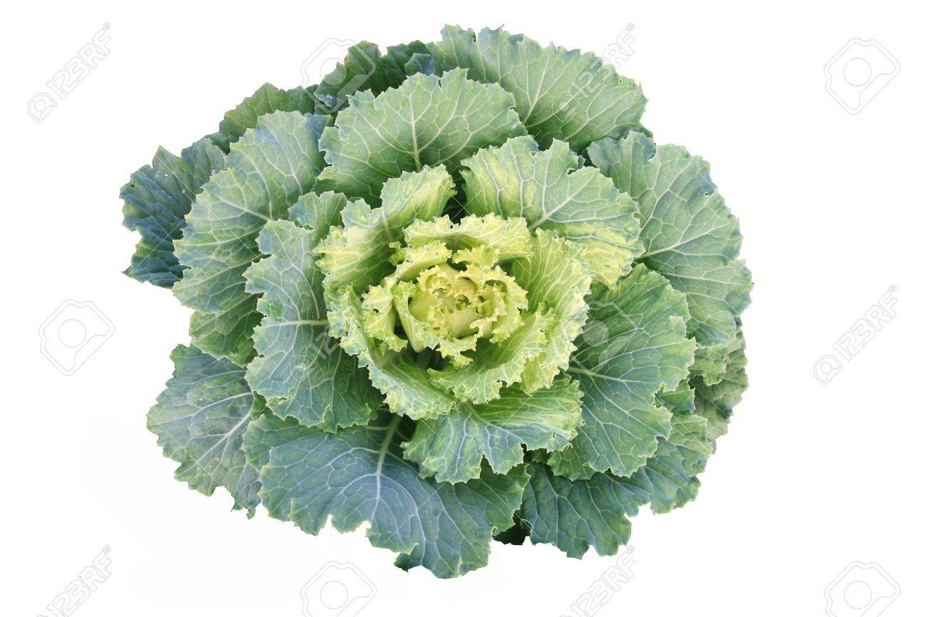 Green cabbage Stock Photo - 8951873