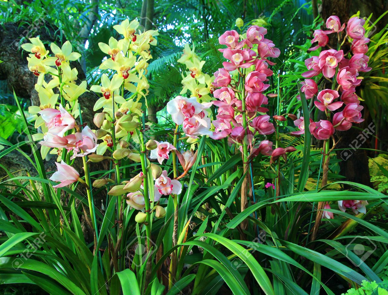 Cymbidium Orchid Colors Colorful Cymbidium Orchids in