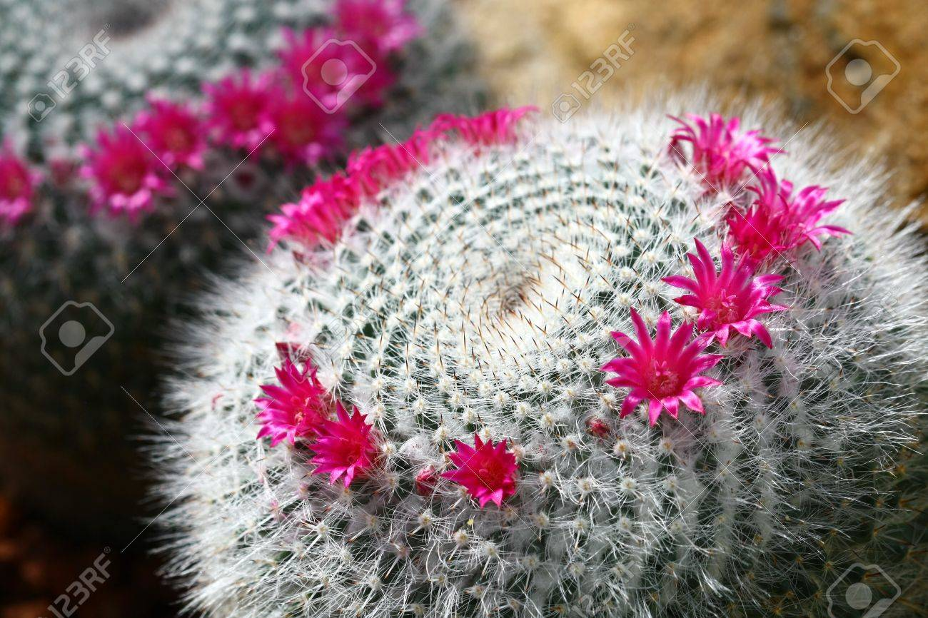 Close Up Cactus With Pink Flowers Stock Photo Picture And Royalty