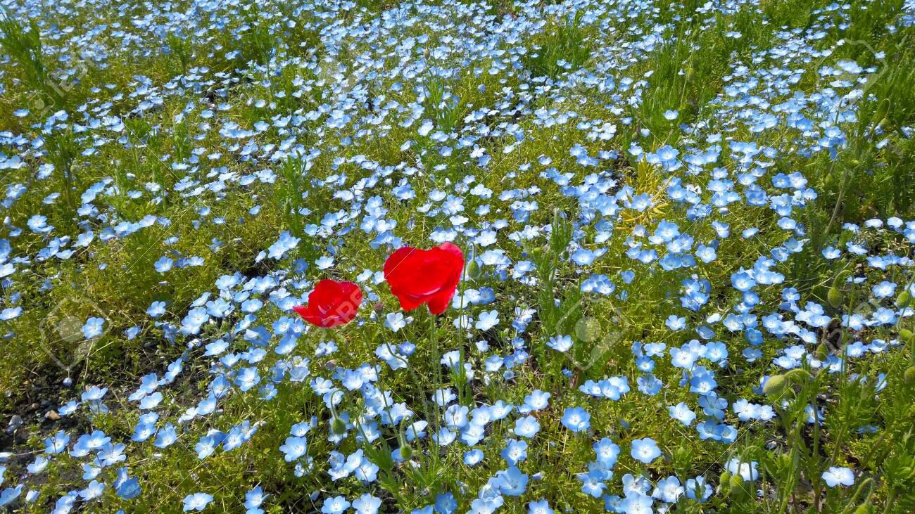 Nemophila and red flowers - 146871392