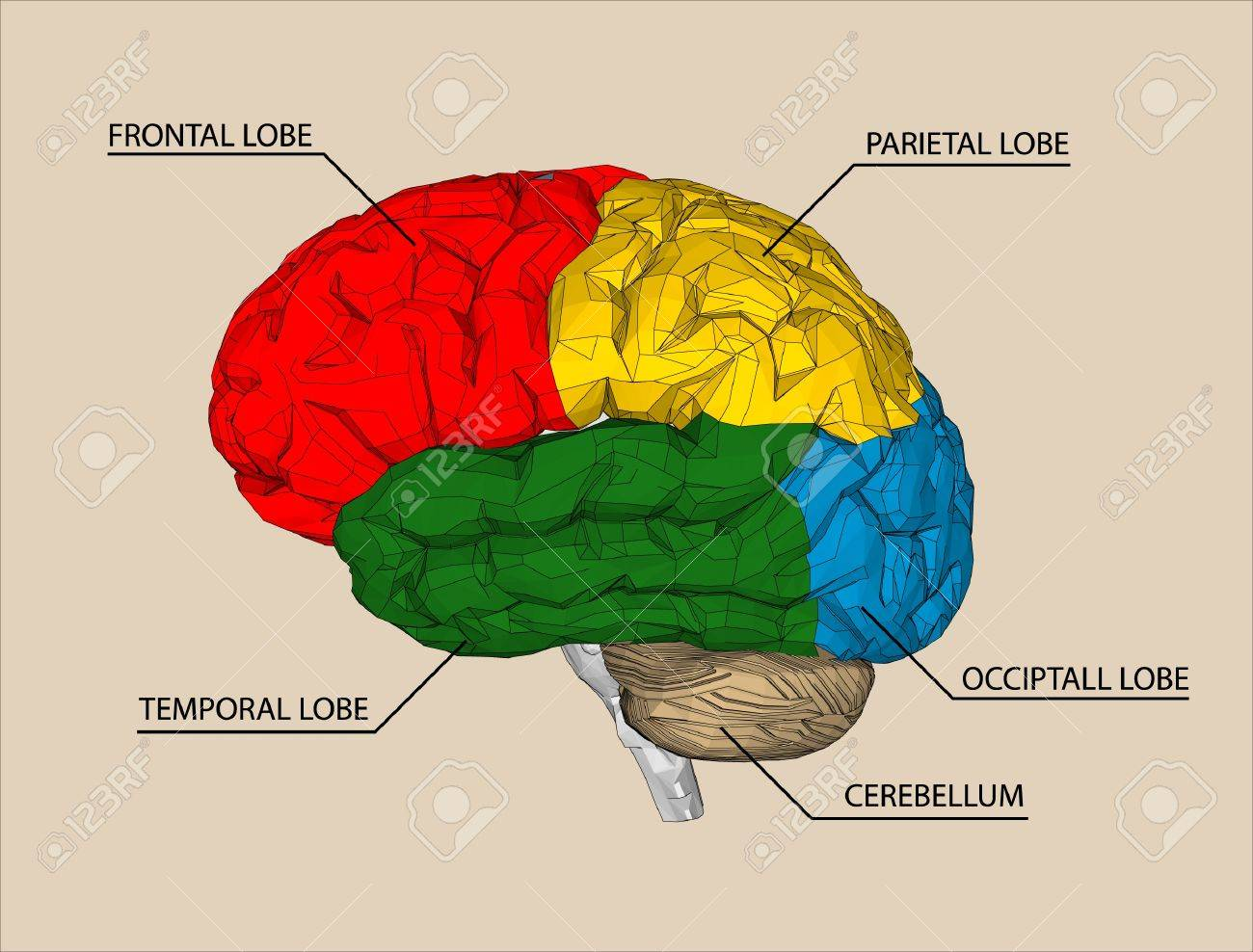 Brain sections vector Stock Vector - 20405004