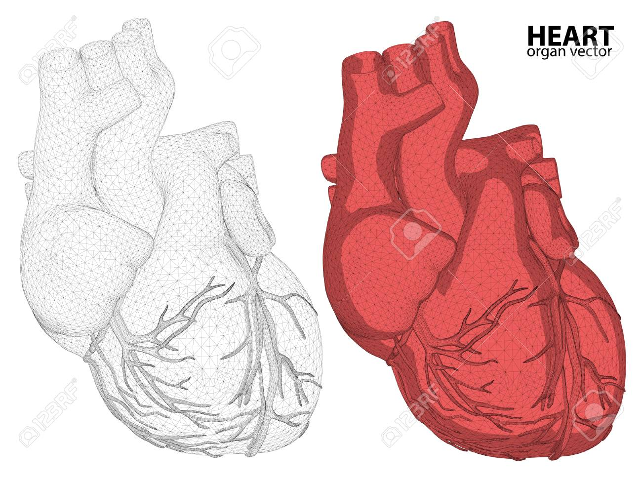 3d Heart Wireframe Mesh Digestive System Isolated On Background ...