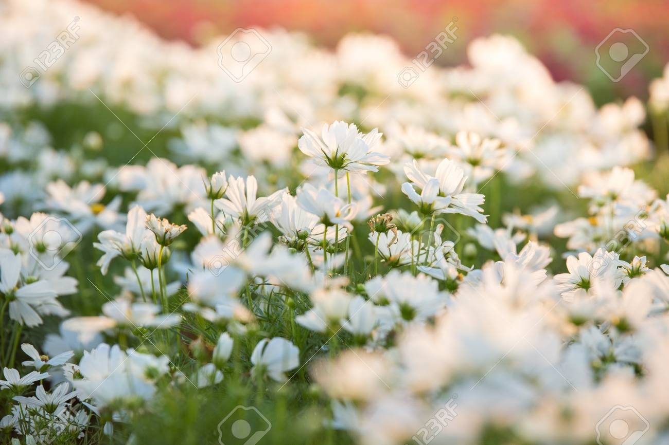 Beautiful White Cosmos Flower Field With Sunlight On The Garden