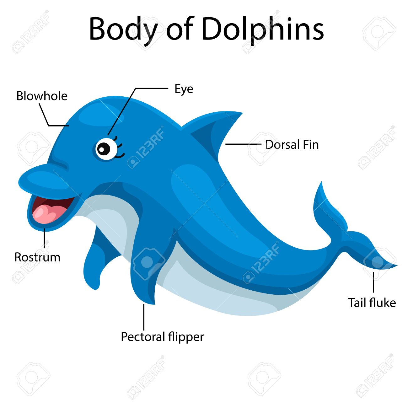 illustrator body of dolphins royalty free cliparts vectors and