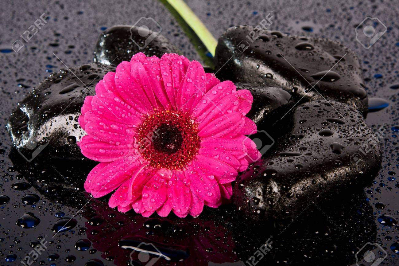 Pink flower on wetblack rocks lying on a shiny dark surface stock pink flower on wetblack rocks lying on a shiny dark surface stock photo mightylinksfo
