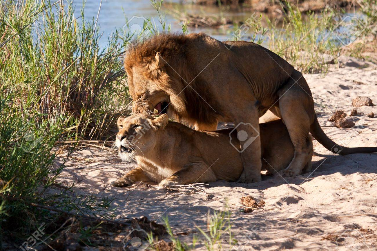 Male and female lion mating on sand near river