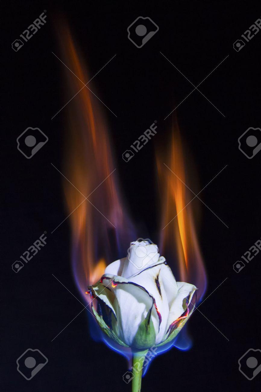 Immagini Stock Rosa Bianca è In Fiamme Ma Non Bruciatura Con
