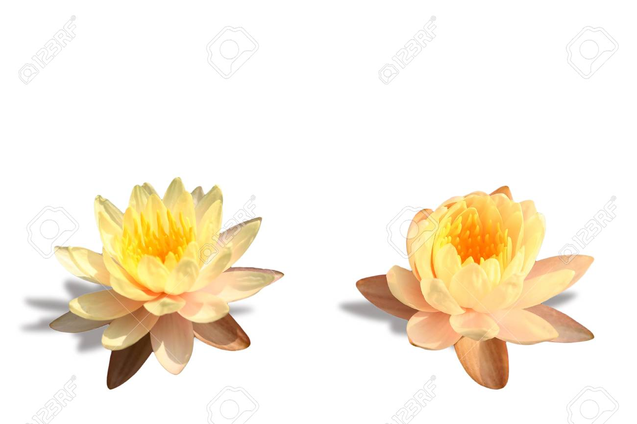 Isolated yellow lotus Stock Photo - 9894183