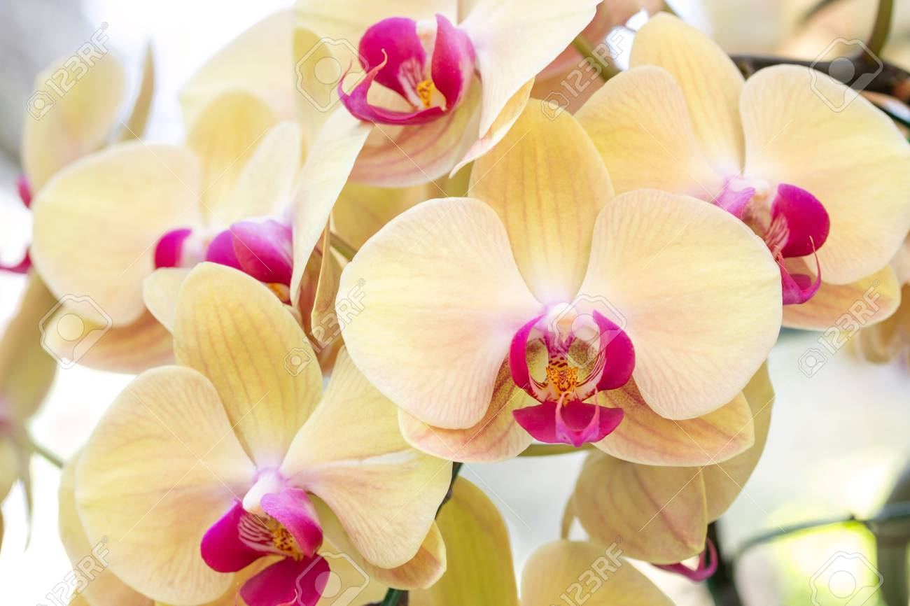 yellow phalaenopsis orchid flower stock photo picture and royalty
