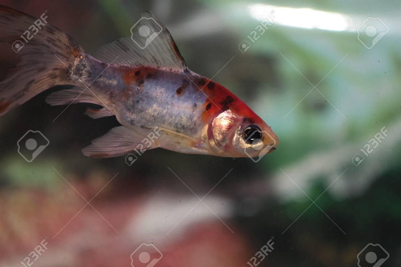 水族館で泳ぎ回る金魚 の写真素材・画像素材 Image 11709090.