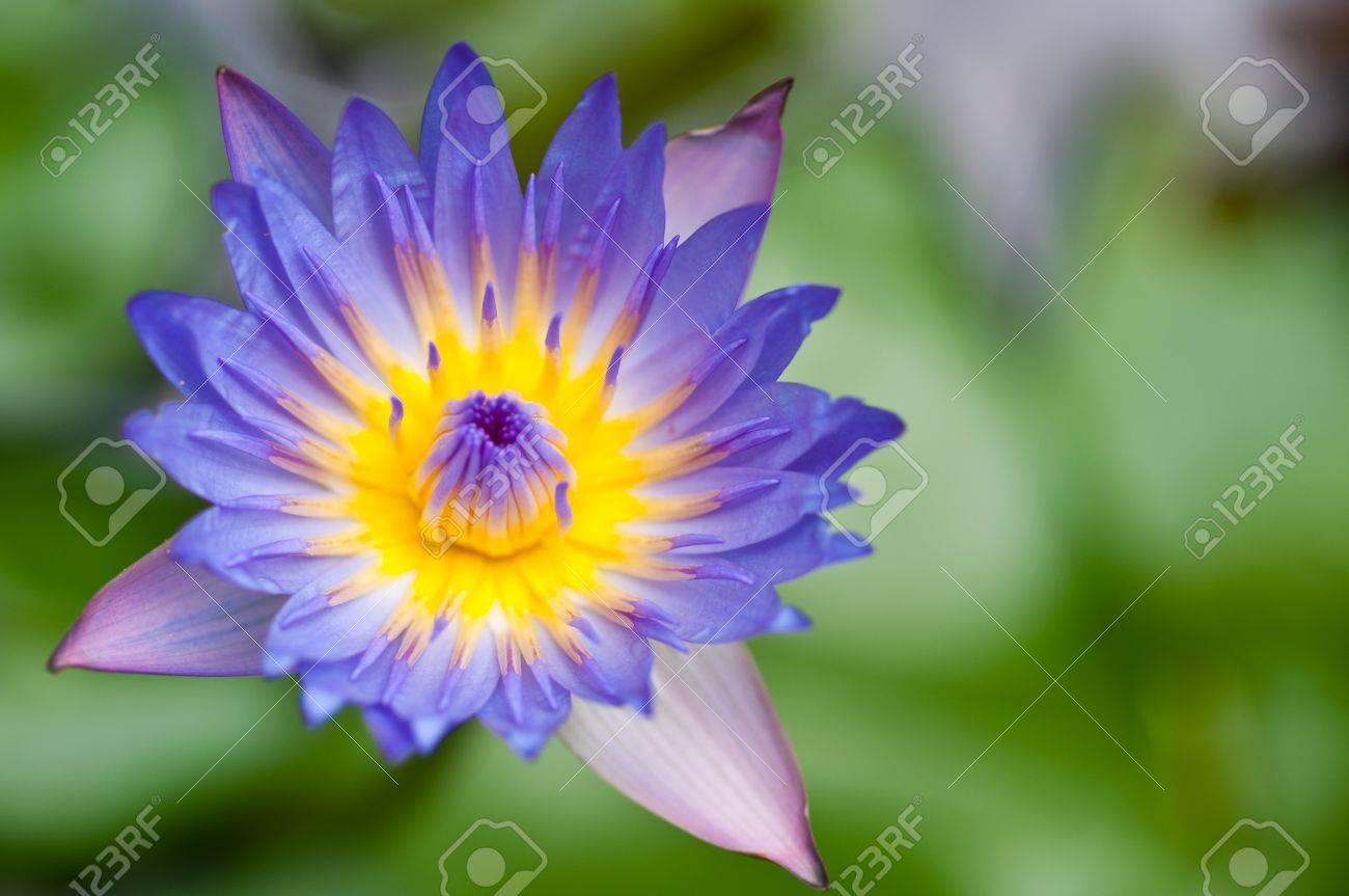 blossom lotus flower in japanese pond focus on flower stock photo, Natural flower
