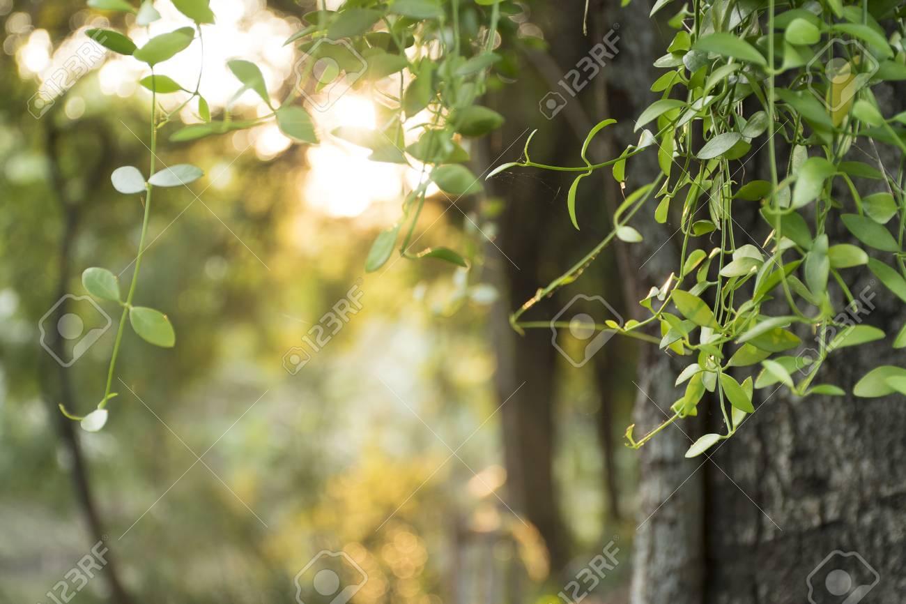 jeunes feuilles et le corps de l'arbre d'un platane le jour d'été de
