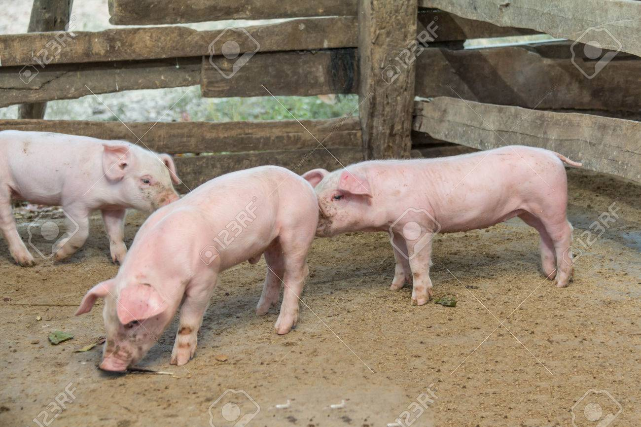 Pigs are brought together for a walk in a wood enclosure