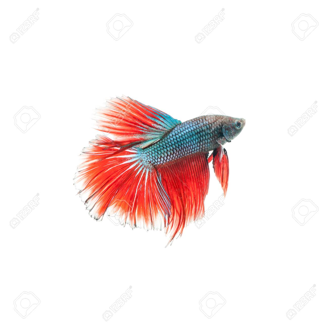Thai Fighting Fish. Beautiful Color Stock Photo, Picture And Royalty ...