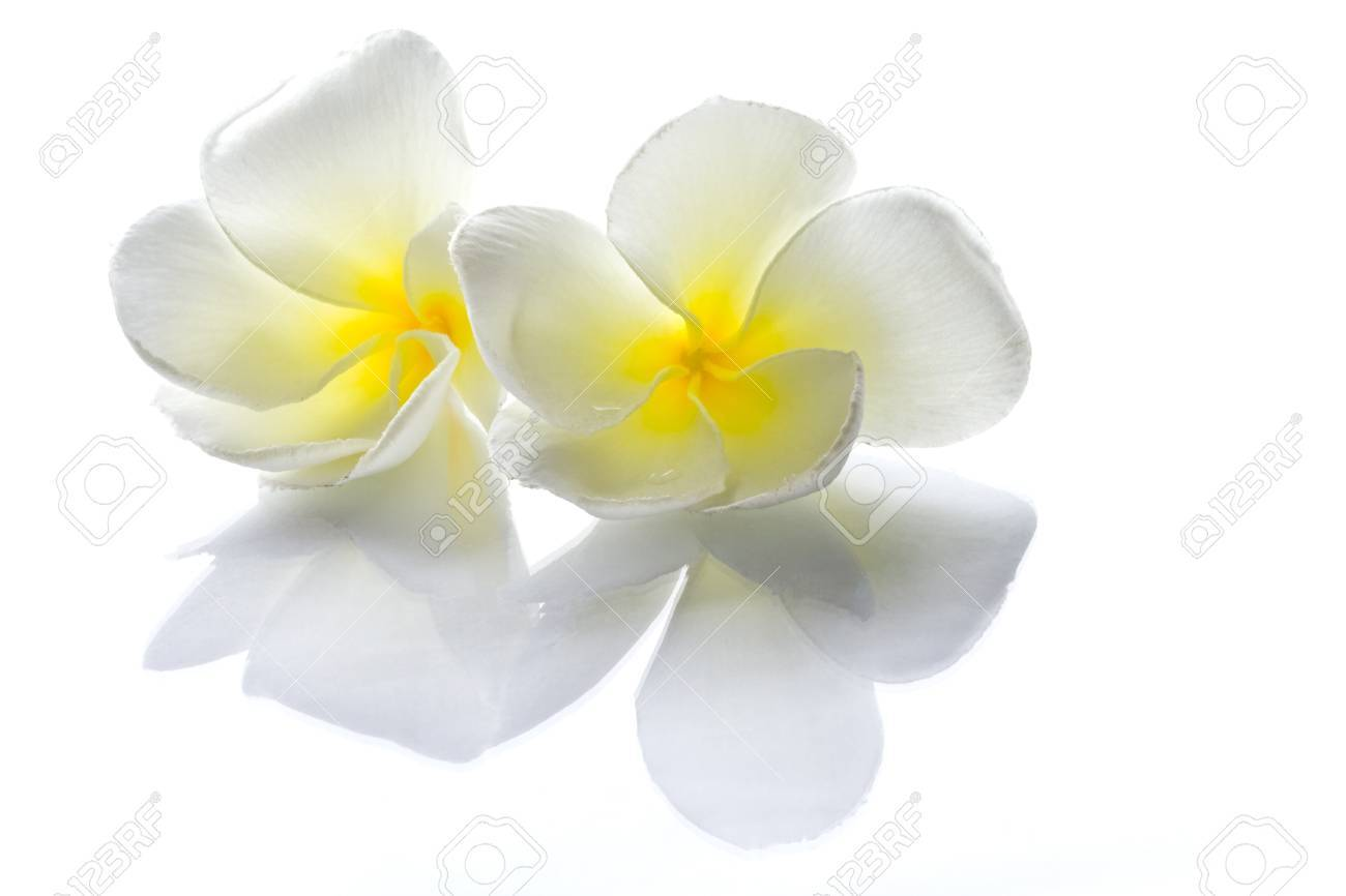 Frangipani flowers white with a reflection on a flat surface and a light background Stock Photo - 10356758