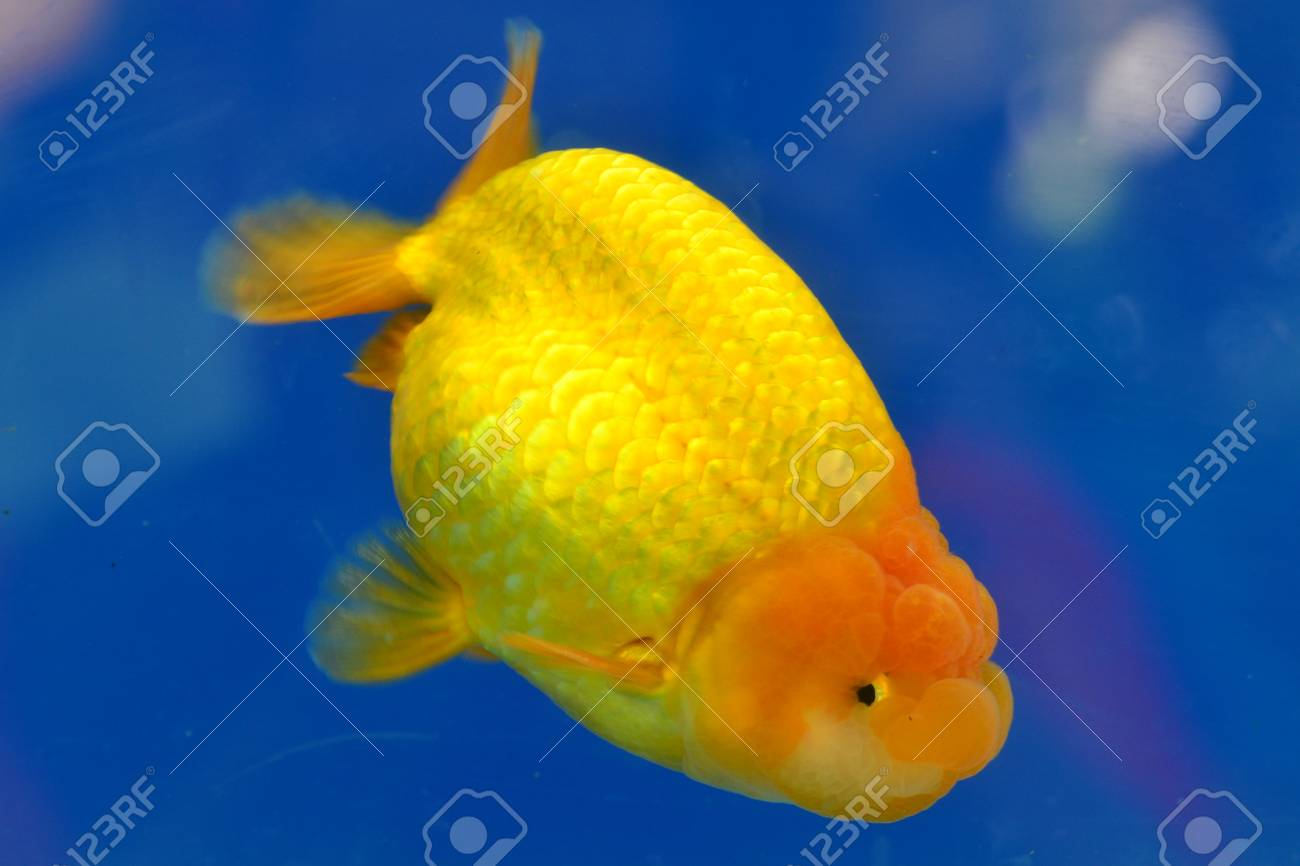 Beautiful Goldfishes in aquarium. Stock Photo - 18519340