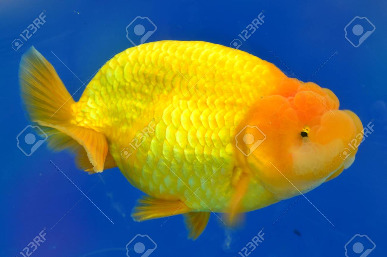 Beautiful Goldfishes in aquarium. Stock Photo - 18519041