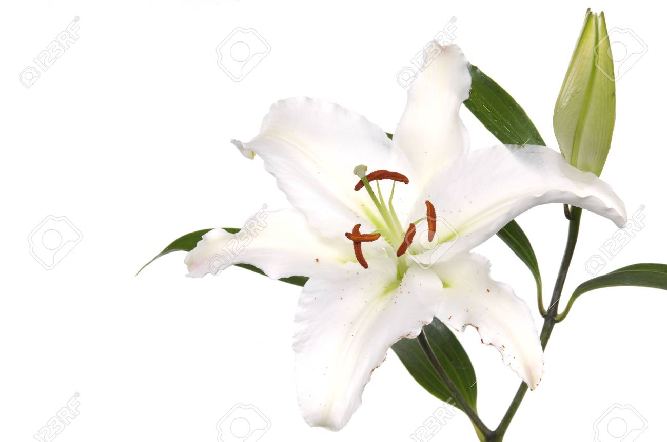 Madonna lily on white Stock Photo - 6057651