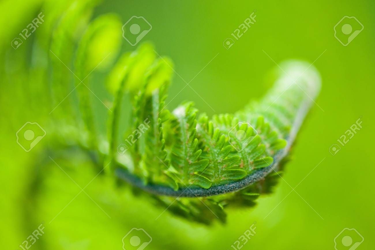 Fresh green leaves of a fern in the blurry background Stock Photo - 8425416
