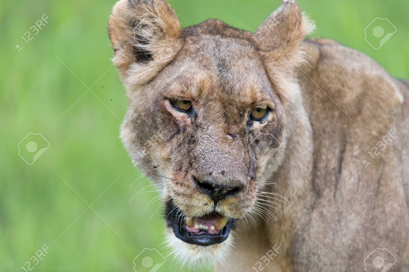 A lioness in the morning portrait Stock Photo - 17217389