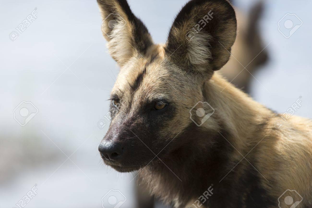 African Wild Dog portrait Stock Photo - 17238406