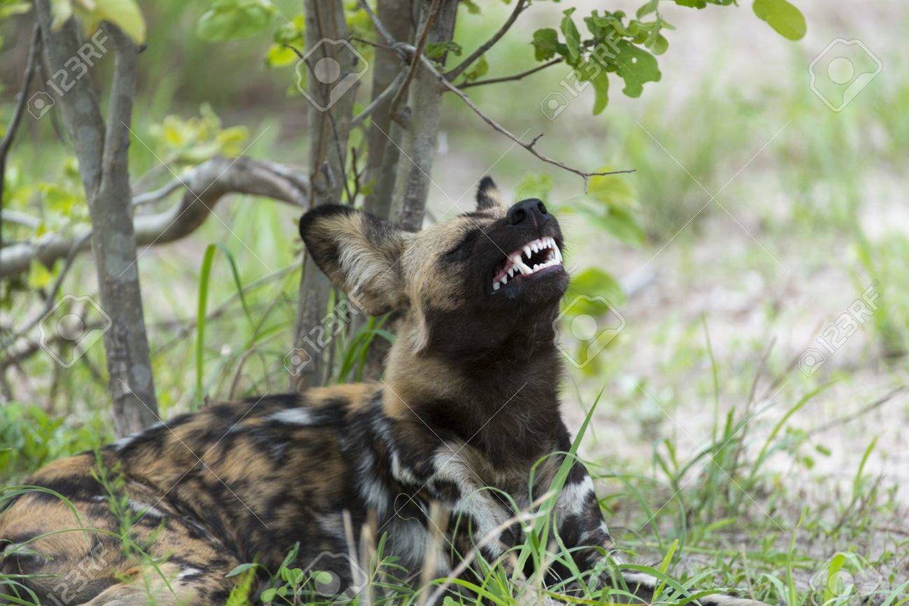 African Wild Dog displaying teeth Stock Photo - 17241046