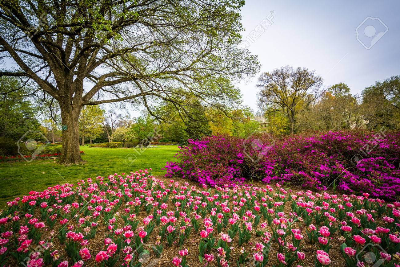 Tulips At Sherwood Gardens Park, In Baltimore, Maryland. Stock Photo    56489041