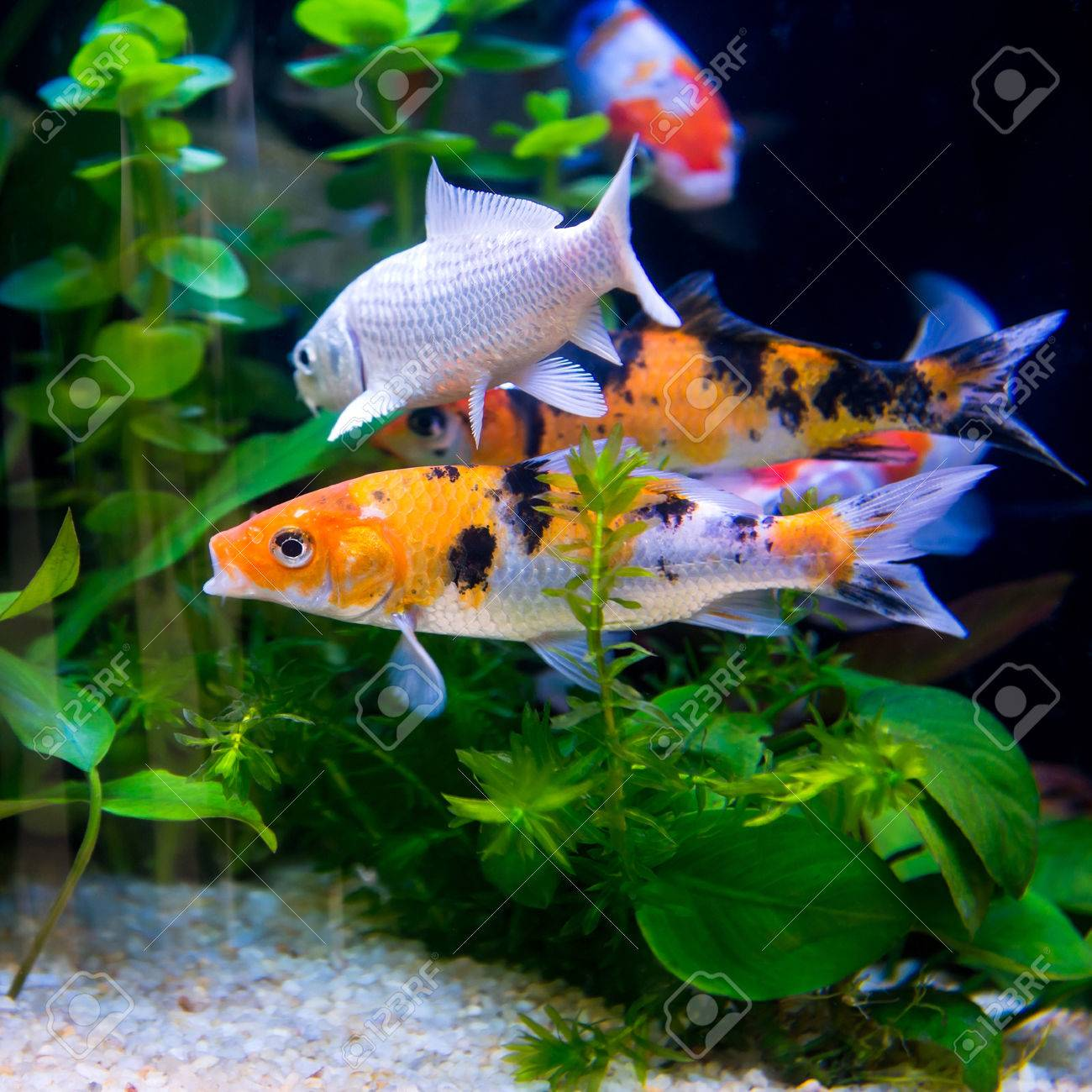 The Colorful Koi Fishes Or Golden Fish Swim Carefree In The Aquarium ...