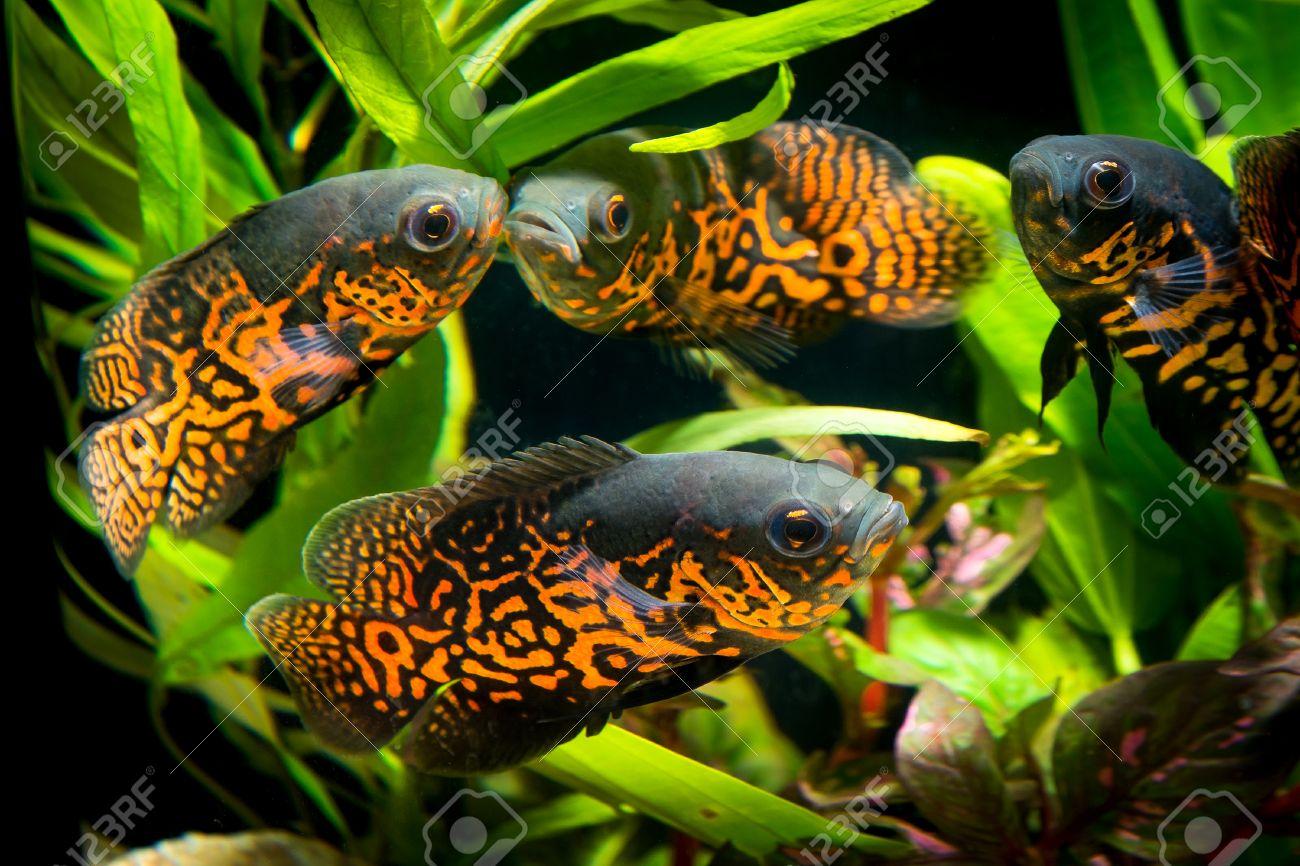 Fish aquarium oscar - Oscar Fish In Aquarium Astronotus Ocellatus Aquarium With Green Plants Snag And Stones