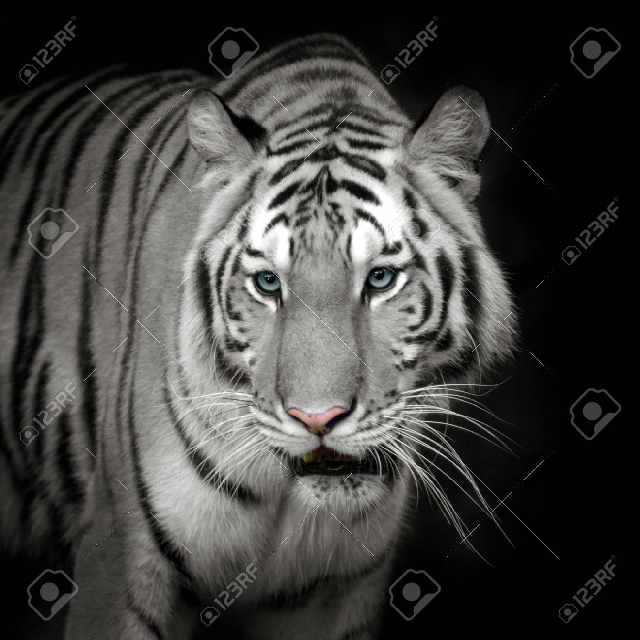 white tiger roaring stock photo, picture and royalty free image
